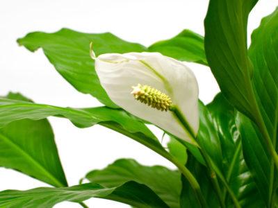 Rośliny antysmogowe Skrzydłokwiat